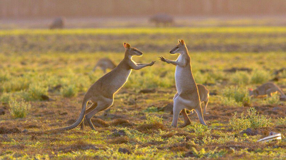 Australien - Frühstück mit Kängurus
